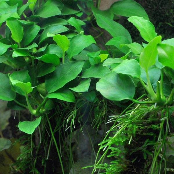 Rhizome | The Aquascape Shop
