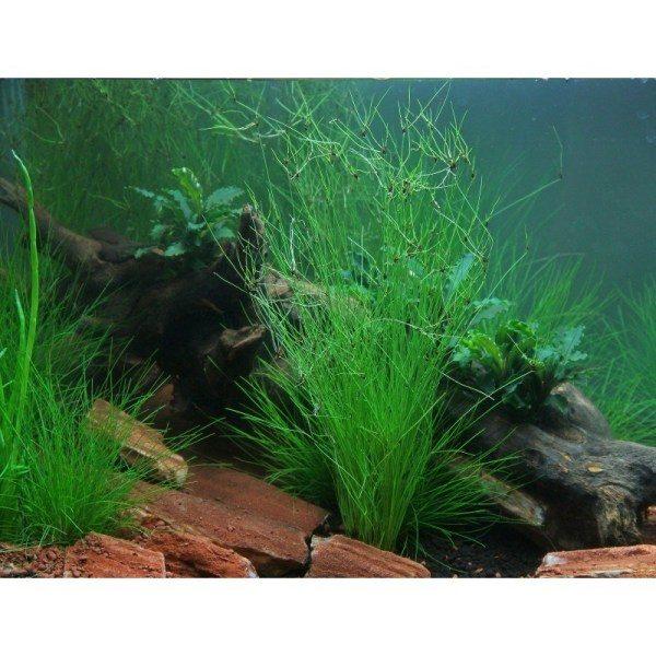 eleocharis-vivipara-hairgrass-dennerle